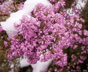 Plantas medicinales: el Brezo