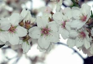 flor del almendro, aceites esenciales